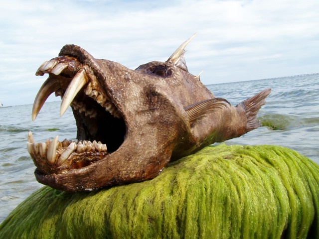 Scariest Fish In The World http://www.akademifantasia.org/arts-and-culture/scary-fish-stranded-on-the-beach/