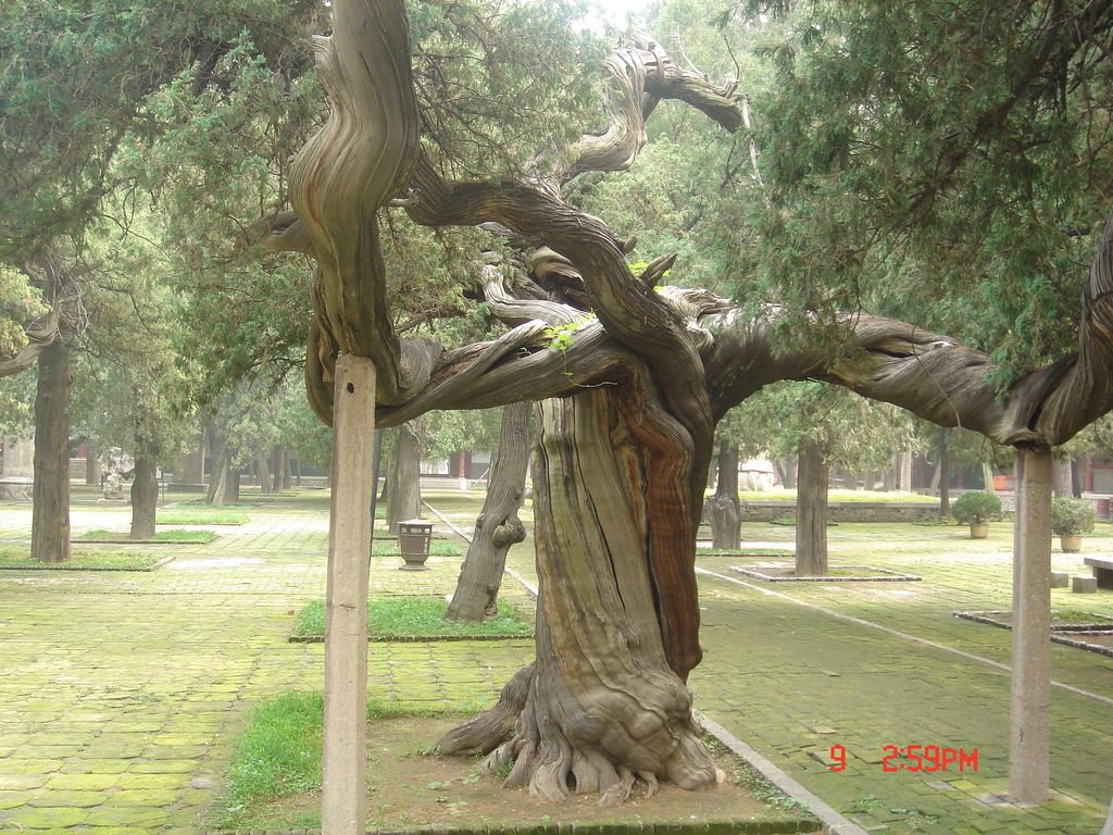 Dai Temple Mount Taishan Tree