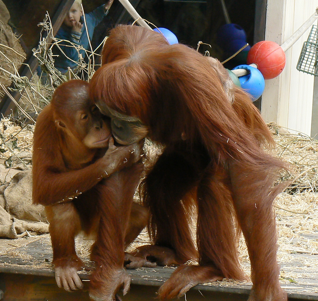 Photo Monday – Introducing You Orang Utans!