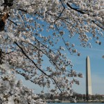 Beautiful Cherry Blossom Festival in Washington DC