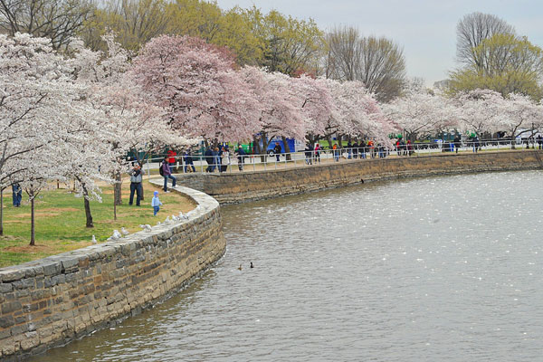 cherry tree blossom festival. blooming Cherry trees on a